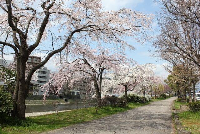 桜の下には死体が埋まっている 鴨川