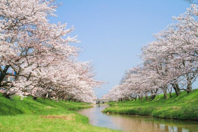 には死体が埋まっている 桜並木